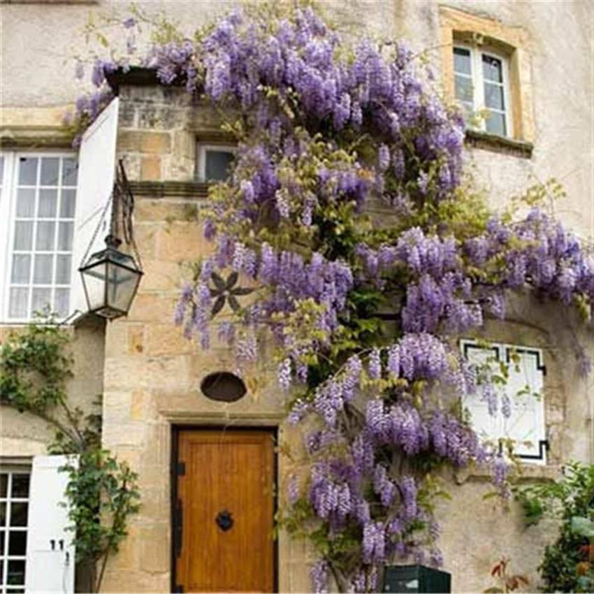 40pcs Outdoor Plant Purple Wisteria Seeds Flower Plants Decor Home